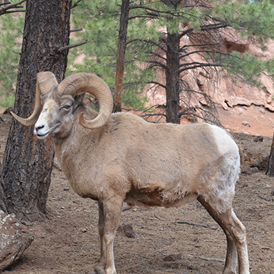 White Mountains, AZ wildlife: big horn sheep
