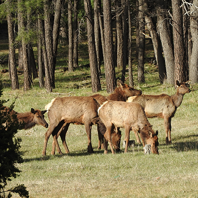 White Mountains, AZ: elk